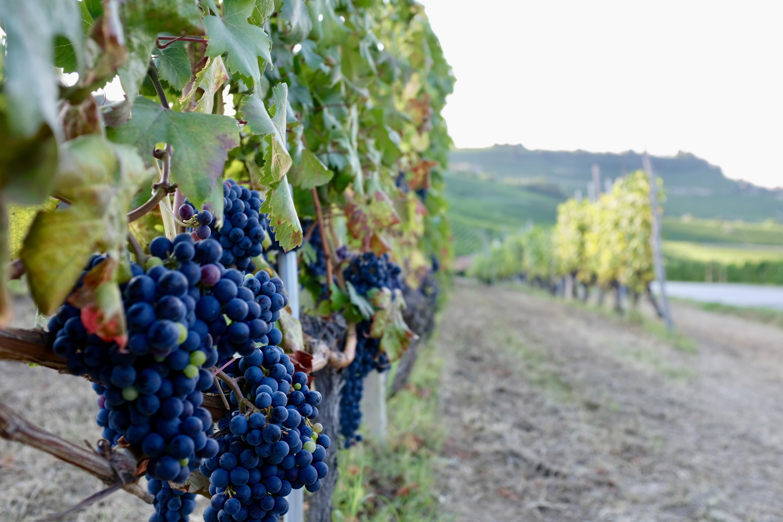Wineyards Winberge Weinberg Piemont Italien